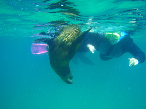Swimming with Australian Fur Seals