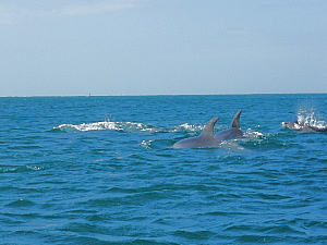 Dolphins at Sorrento