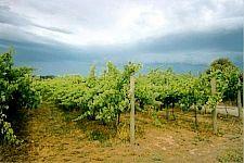 01 vineyard